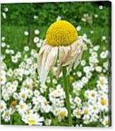 Wilted Daisy In The Garden Acrylic Print