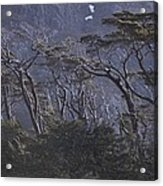 Wind-sculpted Southern Beech Forest Acrylic Print