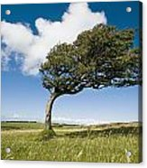 Wind-swept Solitary Tree On Open Grassy Acrylic Print