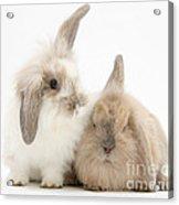 Windmill-eared Rabbits Acrylic Print