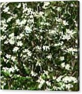 Window Onto Dogwood Blossoms  Acrylic Print