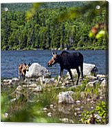 Window To The Moose Acrylic Print
