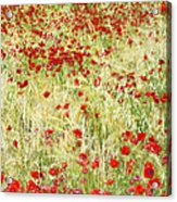 Windy Poppies Acrylic Print