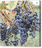 Wine Grapes In Provence Acrylic Print