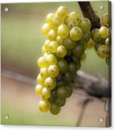 Wine Grapes Acrylic Print by Leslie Leda