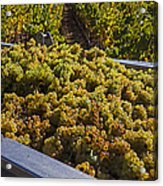 Wine Harvest Acrylic Print by Garry Gay