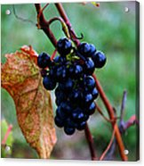 Wine In Time Acrylic Print