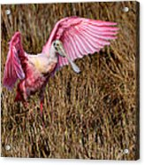 Wings Of Pink And Silk Acrylic Print