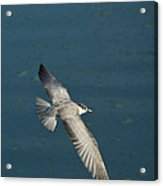 Wings Over Water Acrylic Print