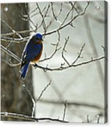 Winter Bluebird Acrylic Print