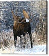 Winter Bull Acrylic Print