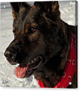 Winter Dog Acrylic Print