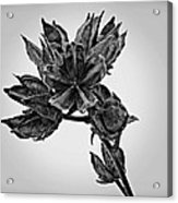 Winter Dormant Rose Of Sharon - Bw Acrylic Print