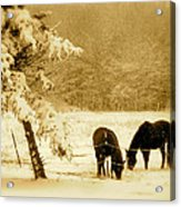 Winter Grazing Acrylic Print