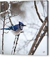 Winter Jay Acrylic Print