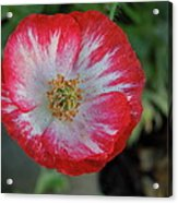 Winter Poppy Acrylic Print