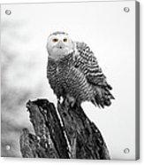 Winter Snowy Owls Acrylic Print