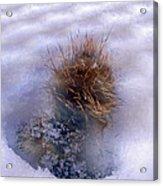 Winter Weed Acrylic Print