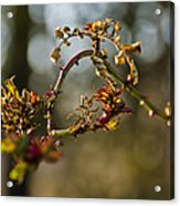 Winter Wild Rose Heart Acrylic Print