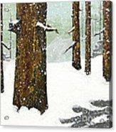 Wintering Pines Acrylic Print
