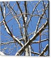 Winter's Branches Acrylic Print by Naomi Berhane