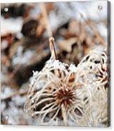 Winters Vine Acrylic Print