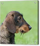 Wire-haired Dachshund Dog  Acrylic Print