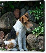 Wirehair Fox Terrier Acrylic Print