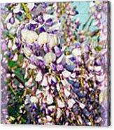 Wispy Wisteria Acrylic Print