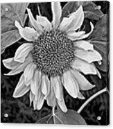 Wistful One Monochrome Acrylic Print