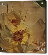 Withering Rose Acrylic Print