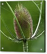 Without Petals Acrylic Print