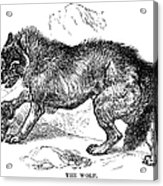 Wolf Attack Acrylic Print