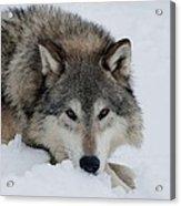 Wolf Closeup Acrylic Print