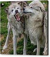 Wolf Confab Acrylic Print