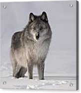 Wolf In The Snow Acrylic Print