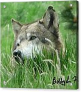 Wolf Laying In Grass Acrylic Print