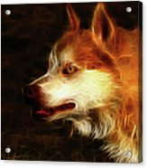 Wolf Or Husky - First Place Win In 'angry Dog Contest' Acrylic Print