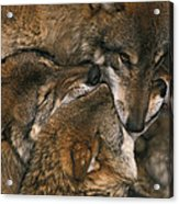 Wolf Pack Biting Each Others Muzzles Acrylic Print