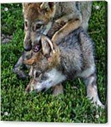 Wolf Play Acrylic Print