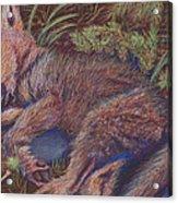 Wolf Pup Napping Acrylic Print by Thomas Maynard