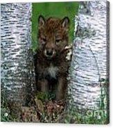 Wolf Pup Playing Peekaboo Acrylic Print