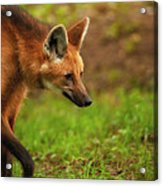 Wolf Strut Acrylic Print