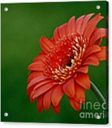 Wonder Of Nature Gerber Daisy Acrylic Print