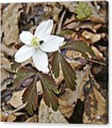 Wood Anemone - Anemone Quinquefolia Acrylic Print
