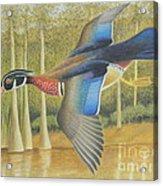 Wood Duck Flying Acrylic Print