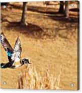 Wood Duck In Fflight Acrylic Print