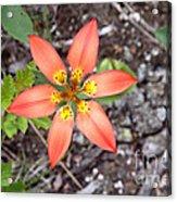 Wood Lily Lilium Philadelphicum Acrylic Print