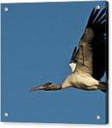Wood Stork In Flight Acrylic Print