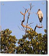 Wood Stork Out On A Limb Acrylic Print